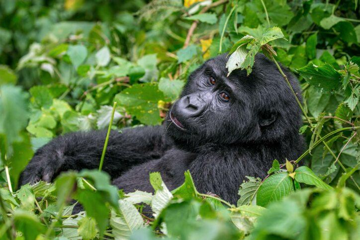 About mountain gorillas
