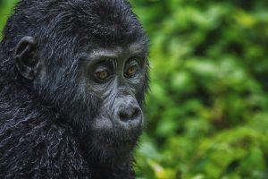 Gorilla Trekking Tours