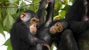 Nyungwe Chimpanzee Tours