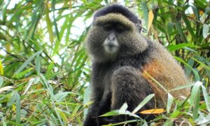 Golden Monkey tours