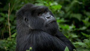 Adult gorillas