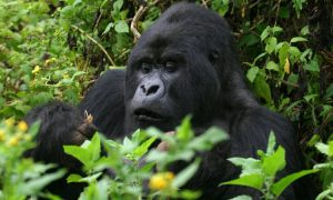 i Day Gorilla Trek Uganda