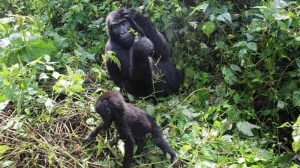 3 Days gorilla habituation trip