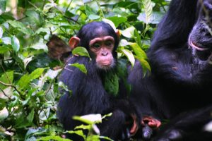 Kibale forest chimpanzee tours