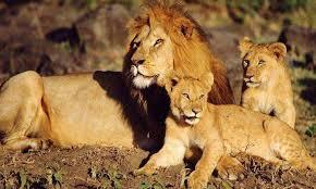 3 Days lion tracking tour