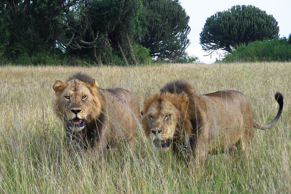 Lion tracking tours