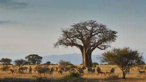 Tanzania Game  Safaris