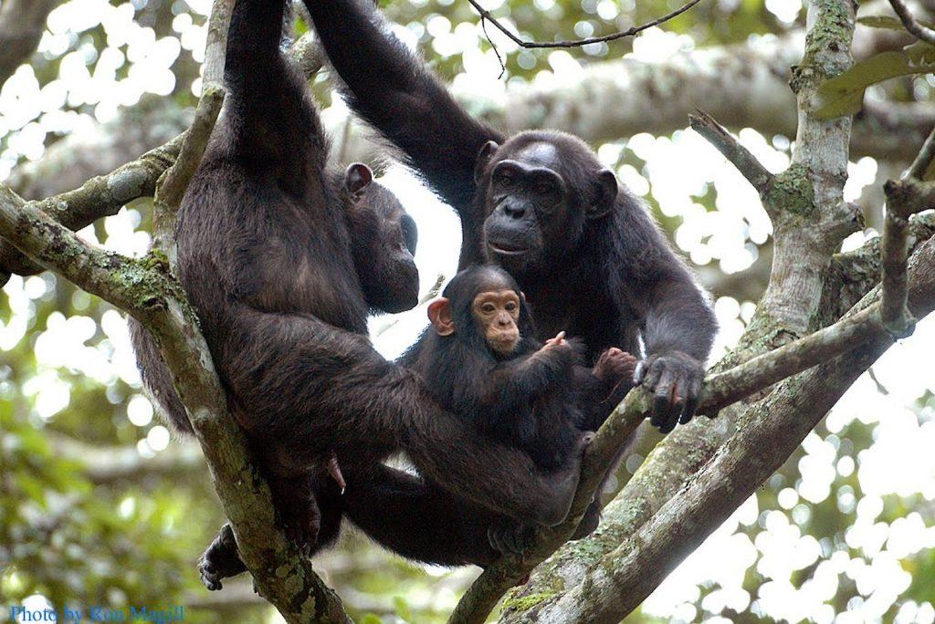 Rwanda Chimpanzee tours