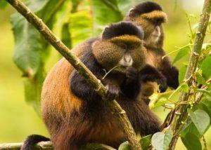 Golden monkeys in Volcanoes national park