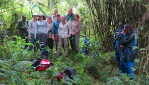 Trekking gorillas in a group