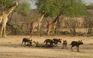Animals  in Selous game reserve