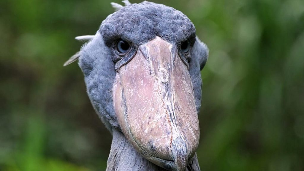 10 Days bird watching in Uganda