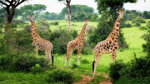 Giraffes in Murchiosn falls
