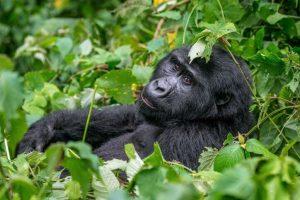 About mountain gorillas